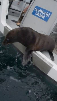 Seaworld Returns Fur Seal to Ocean Home
